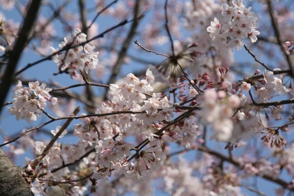 001@鎌倉桜.jpg