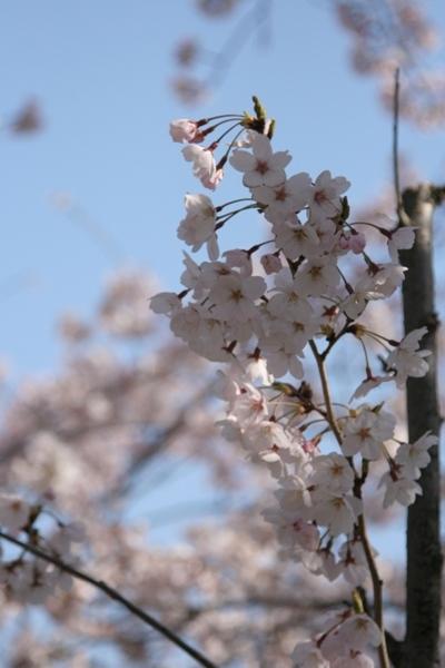 003@鎌倉桜.jpg