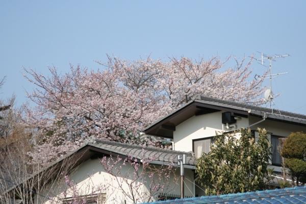 005@鎌倉桜.jpg