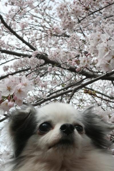 049@@かろんと桜.jpg