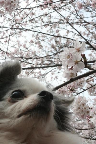 051カロンと桜.jpg