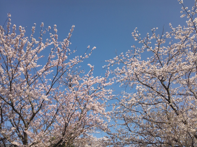 DSC_0398@鎌倉桜.jpg