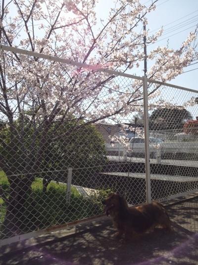 DSC_0412@桜.jpg